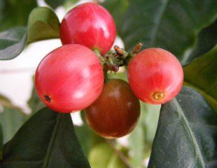 Image of coffee cherries by Stanislaw Szydlo, CC BY-SA 3.0, via Wikimedia Commons