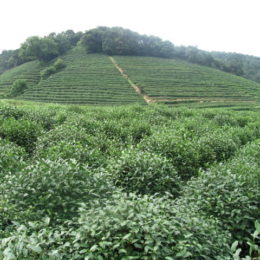 Longjing tea plantation where our leaves were picked