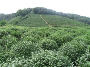 Longjing Tea: An amazing trip to remember