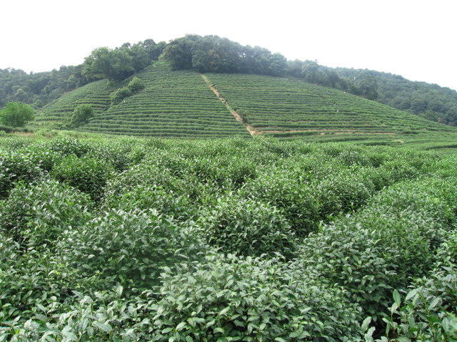 The tea plantation where our leaves were picked
